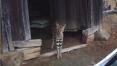 'TV 동물농장' 서벌이 나타난 평택의 한 마을...삵과 치타와 닮은 '사바나캣'